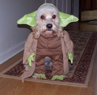 funny looking dog photo yoda pic star wars