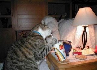 funny cat drinking mcdonalds shake from with a straw photo