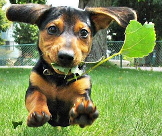 really cute daschund puppy dog with leaf in mouth leaping pic