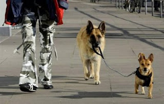 cute pic of alsatian walking a dog