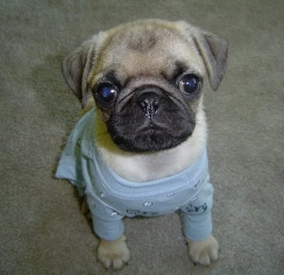 cute pic of pug in a blue jumper posing