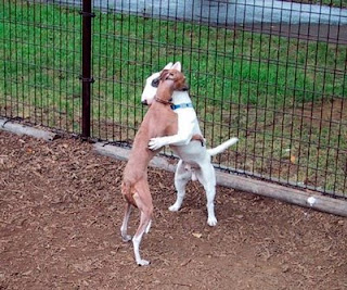 cute hugging bull terrier and whippet photo