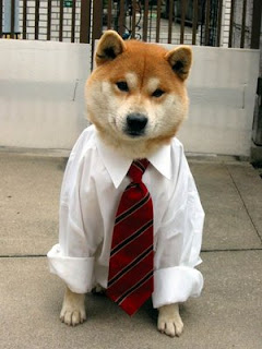 cute dogs dressed up for work in white short and tie but wheres the pants photo