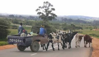funny photo of toyota pick up cut in half and used as a cart with cows pulling it