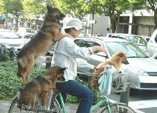 funny animal photos dogs riding on bike in baskets cute