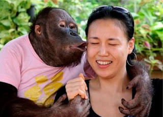 really cute orangutan planting a kiss on girl photo