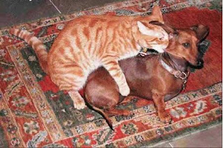 funny cat and dog photo ginger biting dog friends ear