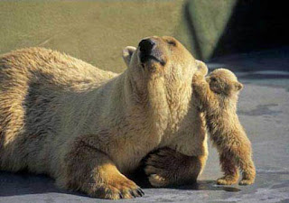 funny animal photos really cute pic of young baby polar bear and mother
