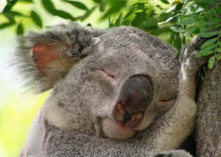 funny australian pictures cute koala bear sleeping photo