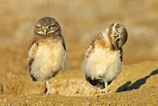 really funny owl picture two birds both standing on one foot one turning head to pose for photo
