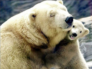 cute picture of two polar bears playing mother and young