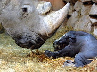 funny animal pictures tiny rhhino baby and mother at the zoo photo