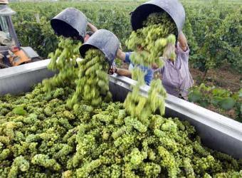 Parábola de los trabajadores en la viña Vendimia