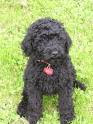 Labradoodle, Labradoodle pictures