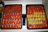Oven Drying Tomatoes 2009