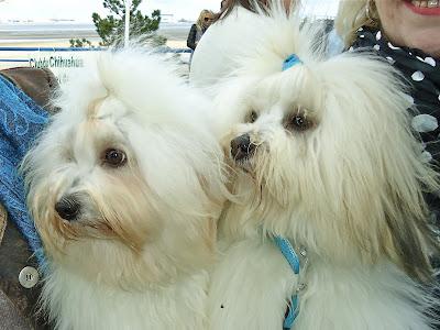 nosy blue élevage éleveur chiots lof chien de race  coton de tuléar nantes bretagne pays de la loire vendée