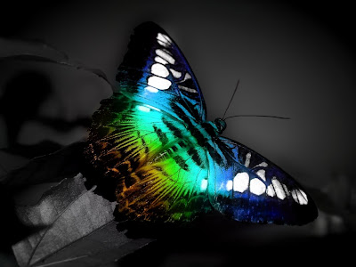 Butterfly Wallpapers 0106