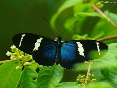 Butterfly Wallpapers 0104