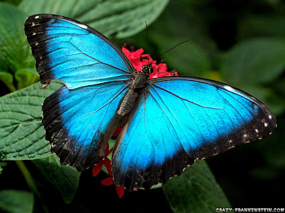 Butterfly Wallpapers 0101