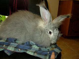 Blue Chinchilla Angora rabbit