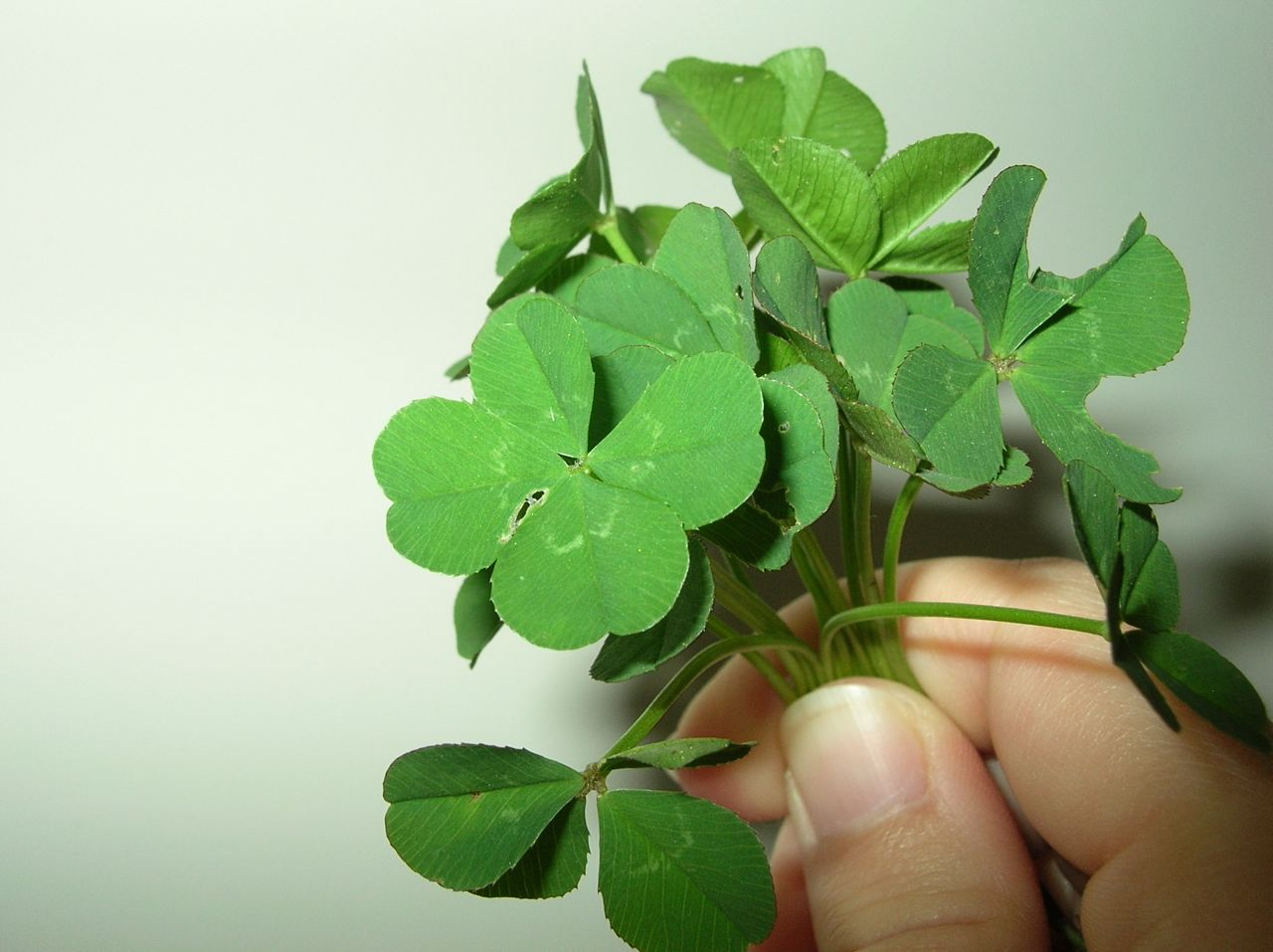 finding a 4 leaf clover St patrick's day offers some great history of ireland the four-leaf clover has become known for being a lucky object and are often sold.