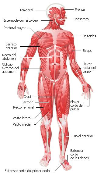 hueso mas grande cuerpo humano:
