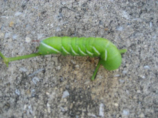 Green Horned Tomato Worm