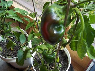 Indoor Garden,indoor herb garden,indoor herb garden kit,indoor hydroponic garden,indoor vegetable garden
