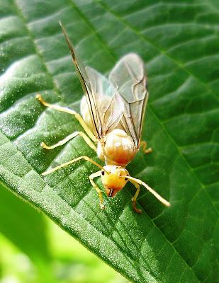 http://1.bp.blogspot.com/_y9X6Rxa3r6o/SR1-mDjBmTI/AAAAAAAAAJ8/9W-81fRu18o/s400/Semut+Terbang.JPG