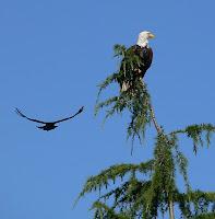 Shqiponja, Sorra dhe Bariu Eaglecrow2pb