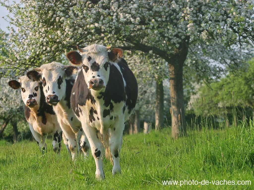 [E11] Finale: Haute-Normandie - Limousin Vache-normande