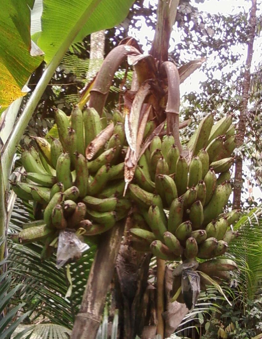 pisang aneh 2013
