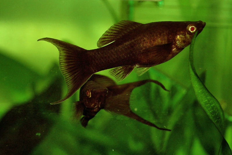 Molly Fish Babies Like any tropical fish they