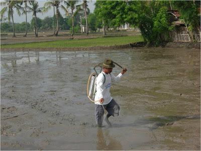 Penggunaan pupuk golden harvest pada padi