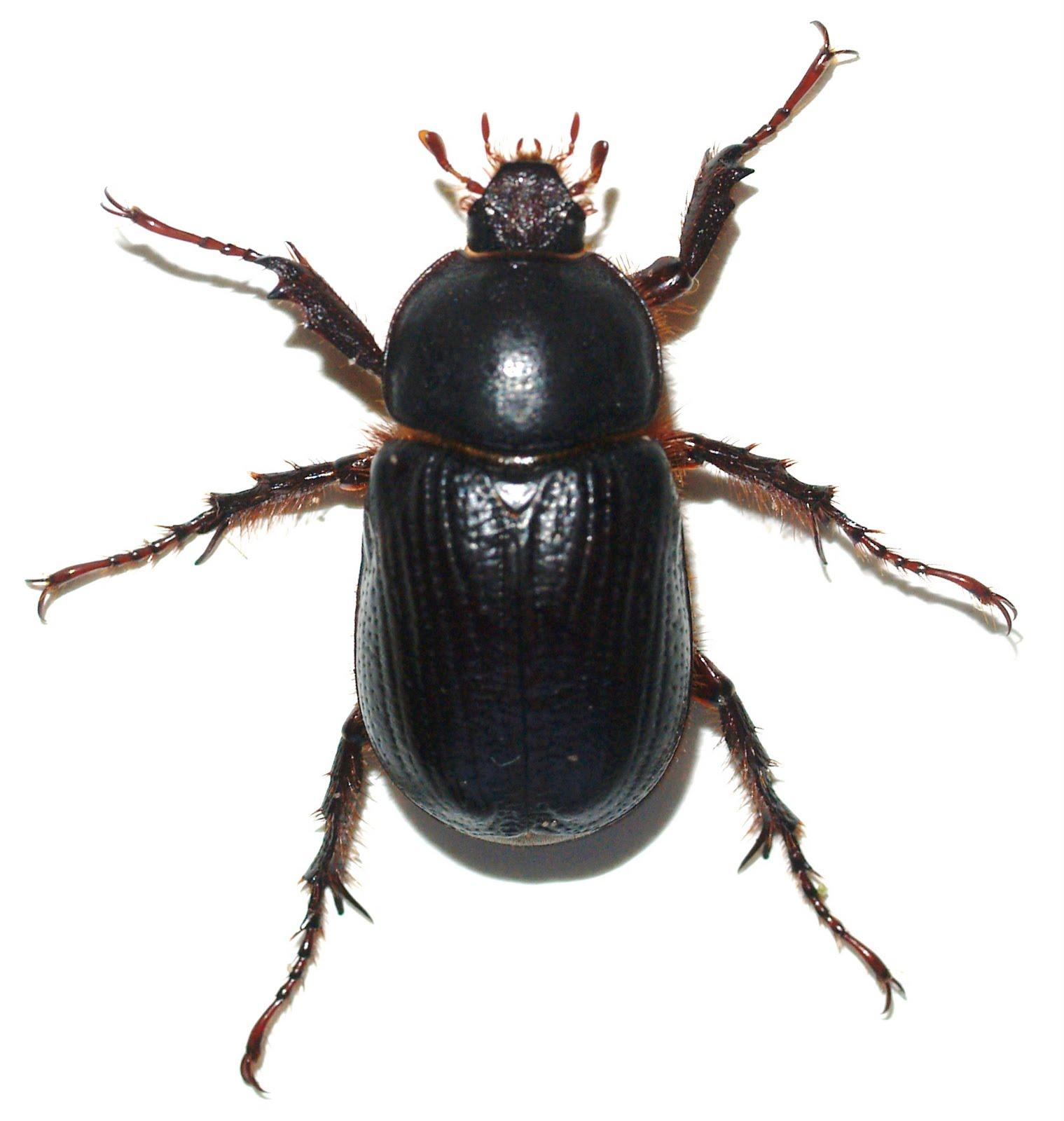 Jackal Head Tattoo Flying Black Beetle