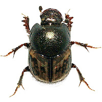 Onthophagus hopfneri