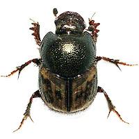 Onthophagus hopfneri