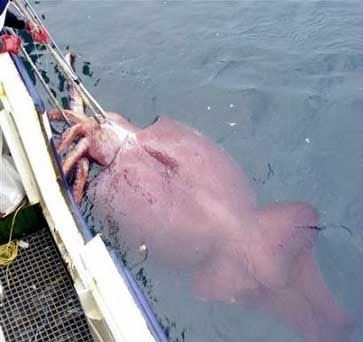 the biggest squid squid 100 feet long, caught at the north pole, Fishing Rod