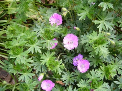 spring geranium from 2 Green Acres