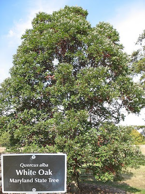 White oak from 2 green acres a mid-atlantic garden blog