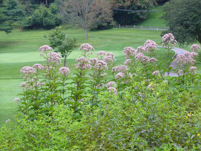 Maryland Native Plant - Joe Pye Weed