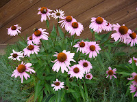 Native Flower - Echinacea - Purple Coneflower