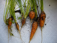 Tiny carrots from the 2 Green Acres vegetable garden