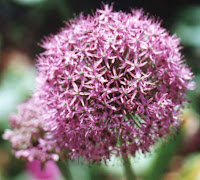 Credits to www.virginiagarden.com for the allium Rosenbachianum photo