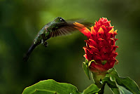 Green-Crowned Brilliant Hummingbird Feeding on Ginger Torch © Frans Lanting