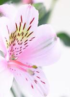 alstroemeria, altroemeria, peruvian lily