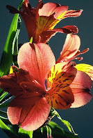 red peruvian lily, inca lily, altroemeria