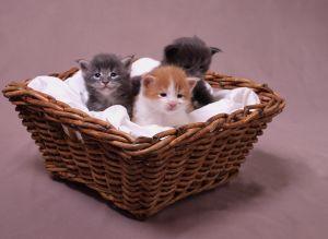 Dunia Satwa Anak Kucing Kitten