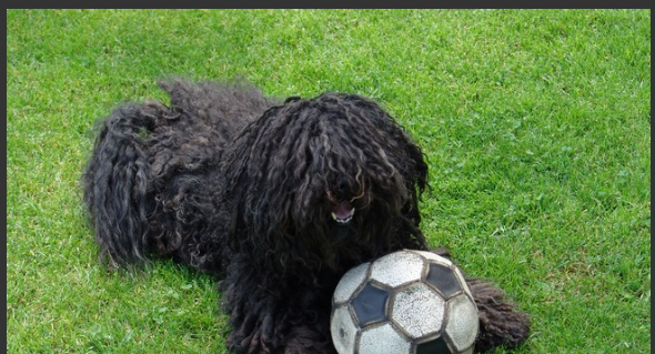 Rare Large Dog Breeds