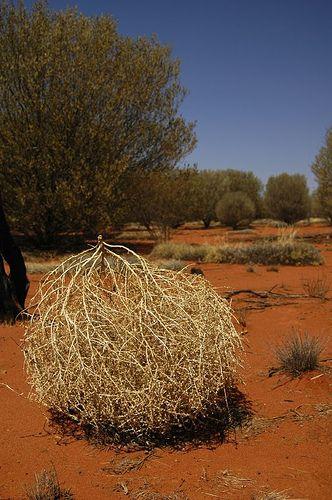 hola.................... Bola_de_paja_en_el_Parque_Nacional_del_Uluru